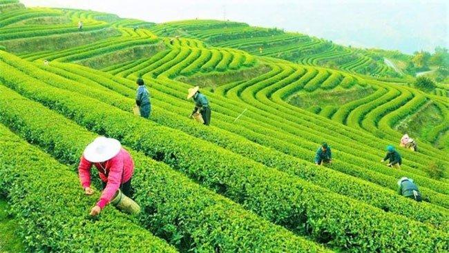 Lịch sử ít biết đến về trà - Đồ uống phổ biến thứ hai thế giới sau nước