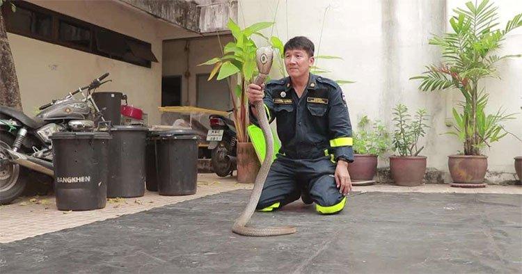 Lính cứu hỏa Thái Lan hướng dẫn bắt rắn hổ mang bằng tay không