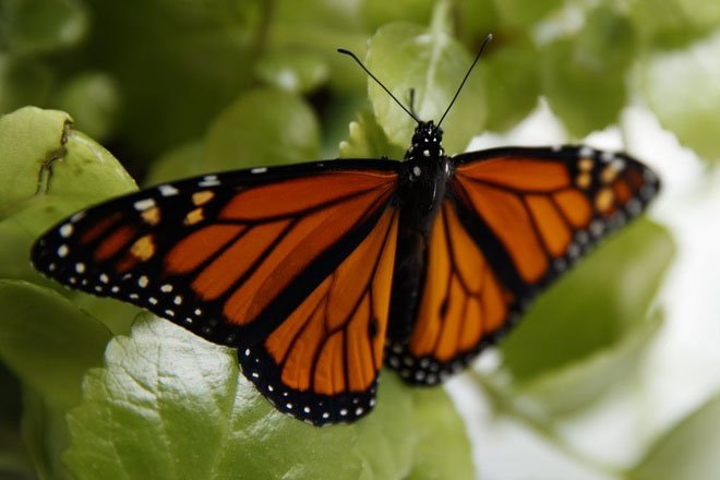 Loài bướm vua trên bờ vực nguy cấp