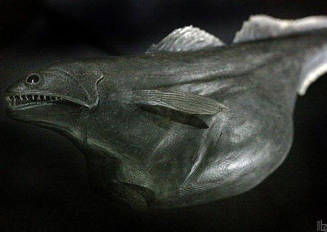 Loài cá Chiasmodon niger: Ác mộng dưới đáy biển sâu
