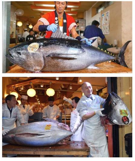 Loài cá đắt nhất nhì thế giới này sắp bị tuyệt chủng vì lý do lãng xẹt không ai ngờ