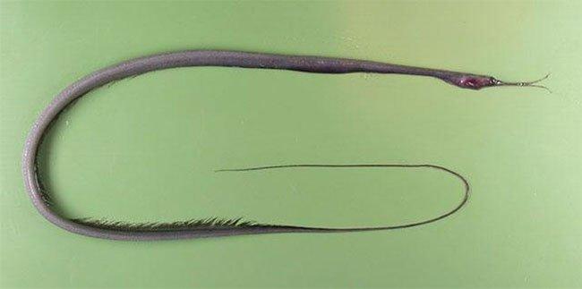 Loài cá kỳ dị có mỏ giống chim, hậu môn nằm ở... cổ họng