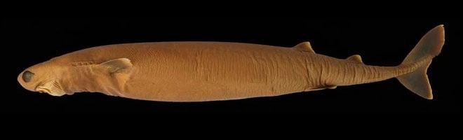 Loài cá mập có cái tên dễ thương nhưng nhìn phát là biết thương không nổi