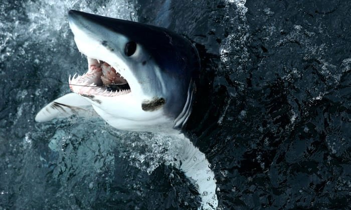 Loài cá mập nhanh nhất thế giới đang lâm nguy