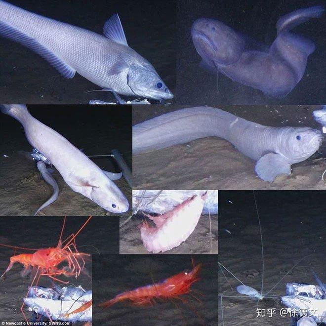 Loài cá mới được tìm thấy ở độ sâu 8km dưới đáy đại dương, cơ thể chúng sẽ tan chảy ngay khi lên mặt biển