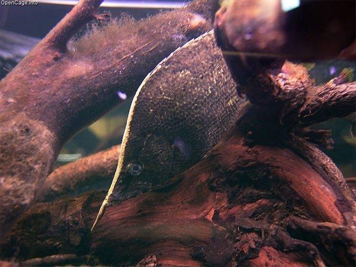 Loài cá ngụy trang thành lá cây khô giống hơn cả thật