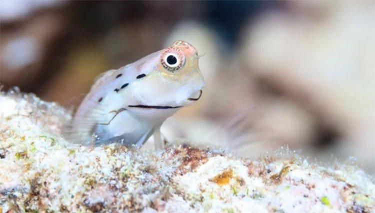 Loài cá nhỏ nhất thế giới cứu những dải san hô