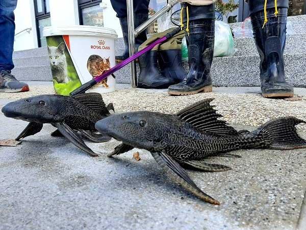 Loài cá từ sông Amazon đang gây họa lớn ở Đài Loan
