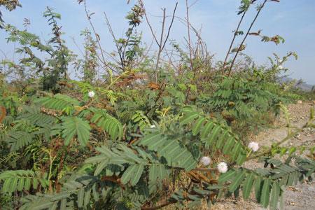 Loài cây có độc gây chết người mọc nhiều ở Việt Nam