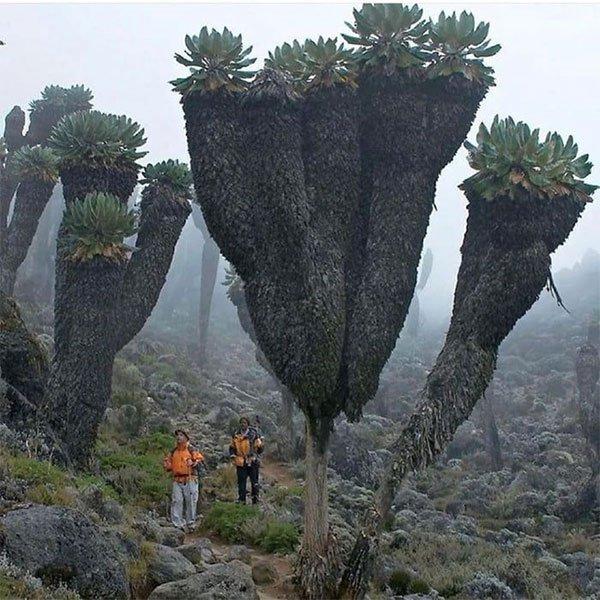 Loại cây kỳ lạ lai dứa và xương rồng trên ngọn núi cao nhất châu Phi