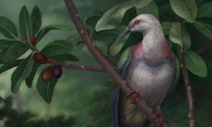 Loài chim bồ câu khổng lồ bị con người săn bắn tới mức tuyệt chủng