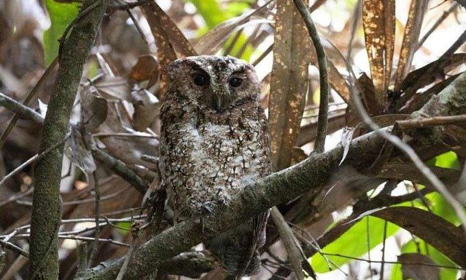 Loài chim cú mèo hiếm tái xuất hiện sau 125 năm