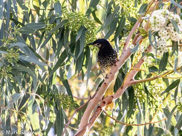 Loài chim cực quý hiếm ở Úc có thể bị tuyệt chủng vì… quên cách hót