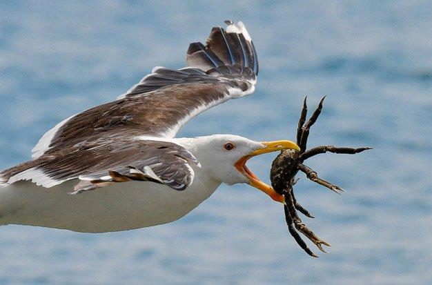 Loài chim hay cà khịa, giang hồ lưu manh nhất thế giới động vật