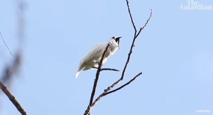 Loài chim hót gọi bạn tình ồn hơn máy bay cất cánh