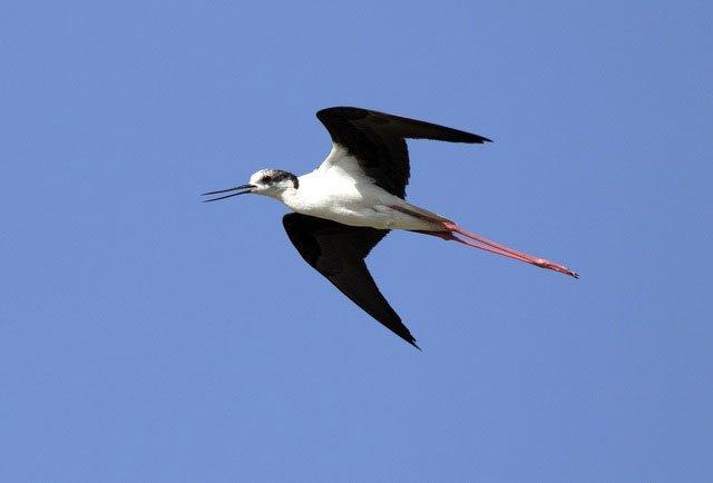 Loài chim kỳ lạ có đôi chân dài như siêu mẫu