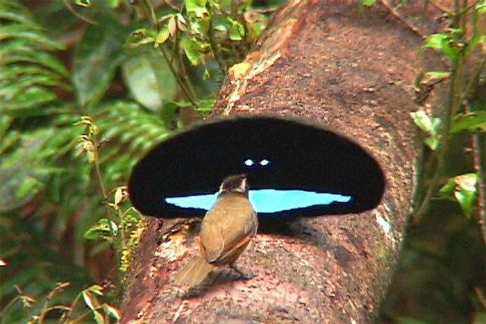 Loài chim này có bộ lông đen đến mức căng mắt cũng không nhìn thấy được gì