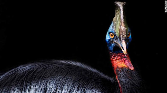 Loài chim nguy hiểm nhất thế giới đã được thuần hóa từ 18.000 năm trước