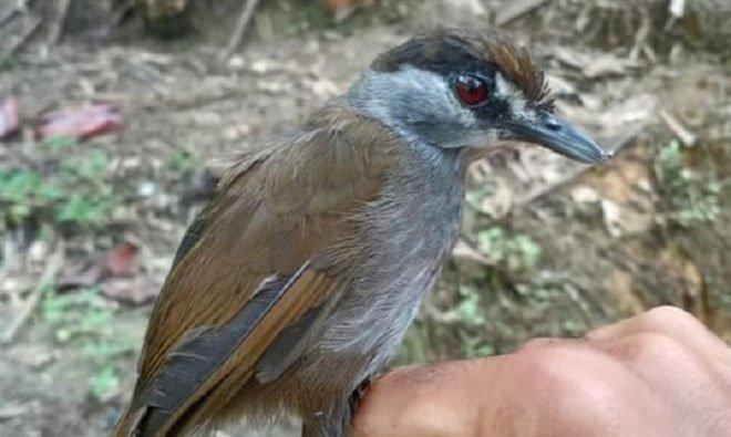 Loài chim quý tái xuất sau gần 200 năm biến mất bí ẩn