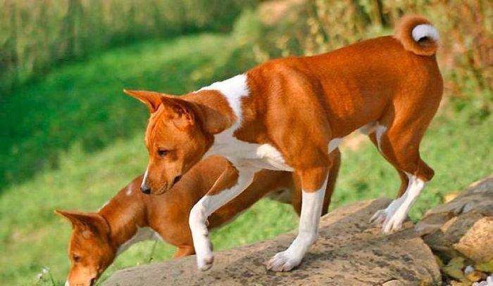 Loài chó không bao giờ sủa, khó đào tạo nhất nhì thế giới