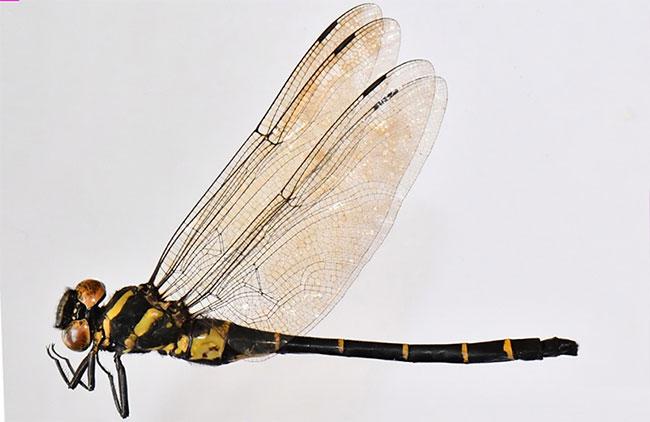 Loài chuồn chuồn mới phát hiện tại Vườn Quốc gia Vũ Quang
