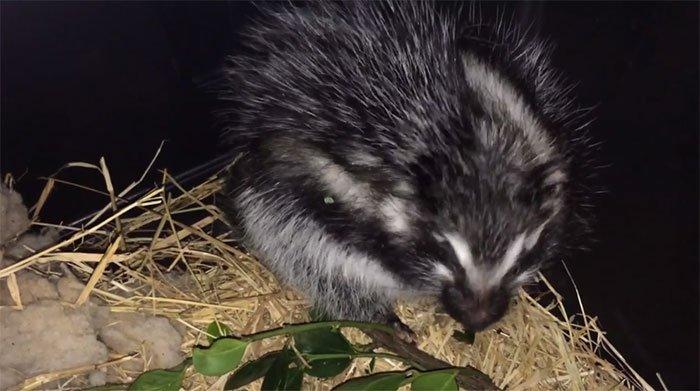Loài chuột to bằng con thỏ có bộ lông kịch độc