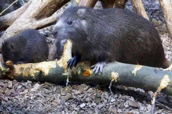 Loài động vật nhỏ bé này bỗng chốc trở thành tội phạm bị truy nã vì sự ăn tàn phá hại của mình