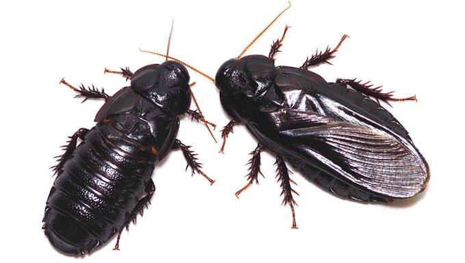 Loài gián thay phiên ăn cánh của nhau sau giao phối