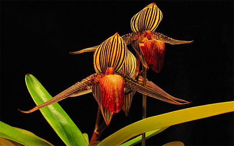 Loài hoa lan 15 năm mới nở một lần, 136 triệu đồng/cây