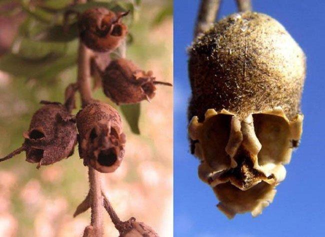 Loài hoa tuyệt đẹp nhưng khi tàn biến thành đầu lâu đáng sợ