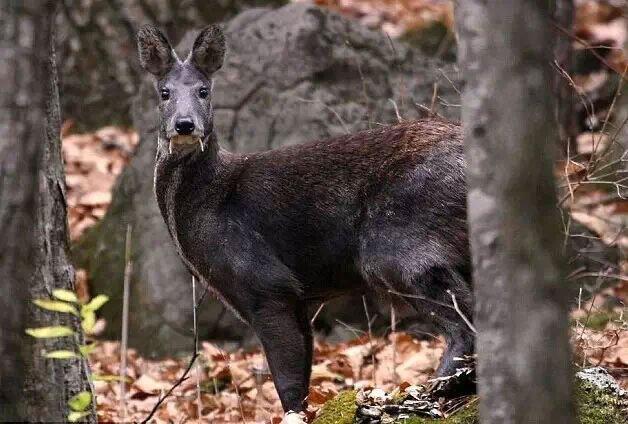 Loài hươu kỳ lạ này dù chỉ ăn cỏ nhưng chúng vẫn có cả răng nanh!