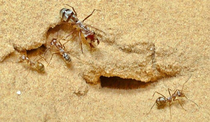 Loài kiến chạy nhanh nhất thế giới