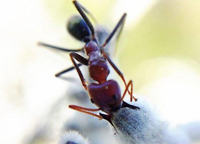 Loài kiến cũng biết thụ phấn cho hoa?