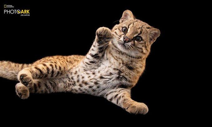 Loài mèo đốm kỳ lạ có tiếng kêu như chim