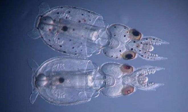 Loài mực biến đổi gene đầu tiên trên thế giới