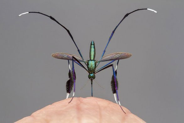 Loài muỗi đẹp nhất thế giới được giới nhiếp ảnh gia săn đón