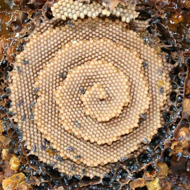 Loài ong xây tổ theo cấu trúc tinh thể?