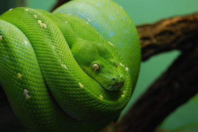 Loài rắn có tai không?