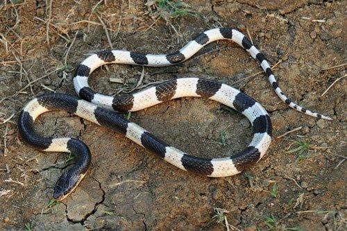 Loài rắn độc nhất Việt Nam: Cạp nong, cạp nia hay hổ mang chúa cũng không có cửa