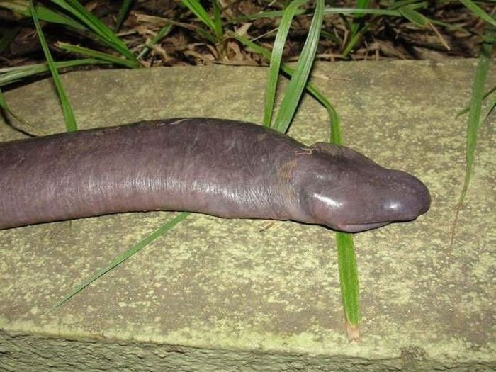 Loài rắn dương vật kỳ lạ xuất hiện ở Mỹ