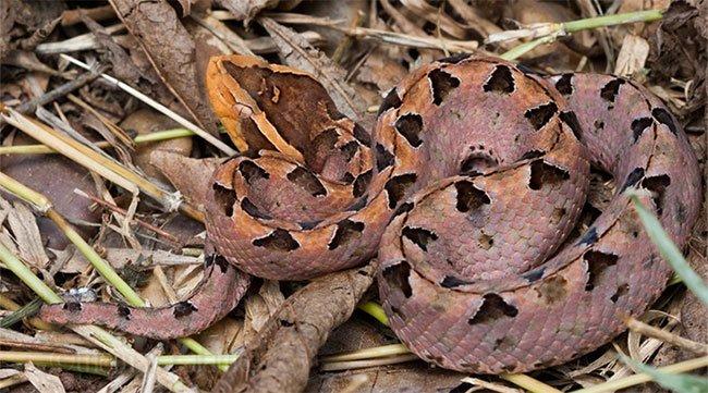 Loài rắn kịch độc có nọc khiến tim ngừng đập chỉ trong vài phút ở Việt Nam