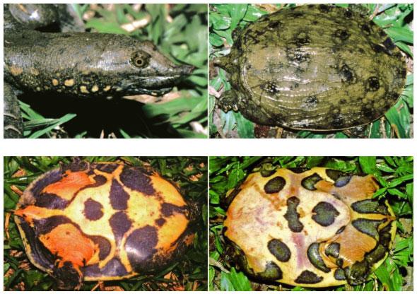 Loài rùa nhọ nhất: Mới tìm ra đã bị đưa ngay vào sách Đỏ, hạng mục đặc biệt nguy cấp
