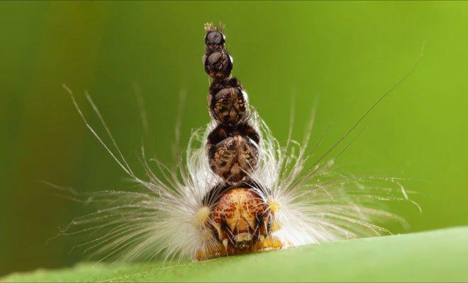 Loài sâu kỳ lạ có 5 đầu xếp chồng lên nhau