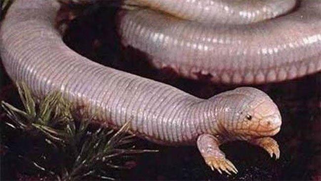 Loài thằn lằn siêu dị: Giống giun mọc tay, cả đời chui lủi trong lòng đất mà không sợ đói