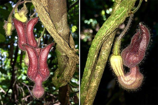 Loài thực vật mới được phát hiện tại Vườn Quốc gia Vũ Quang - Hà Tĩnh