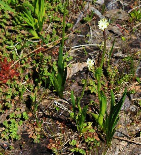 Loài thực vật phổ biến ở Bắc Mỹ này hóa ra lại là cây ăn thịt