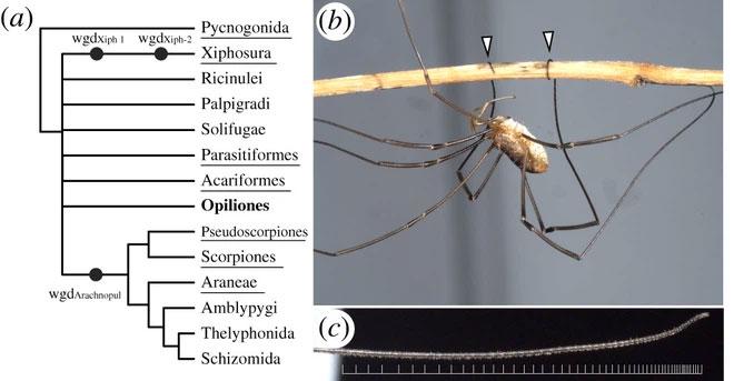 Loài vật có chân dài nhất thế giới vừa bị các nhà khoa học làm lùn đi một nửa