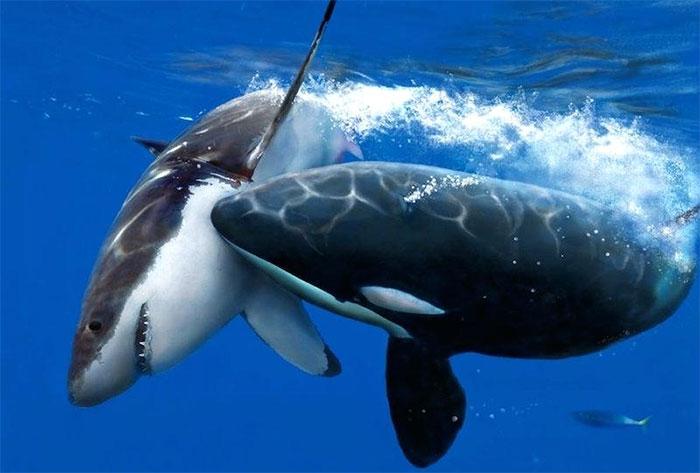 Loài vật gieo rắc nỗi sợ hãi cho cá mập trắng lớn