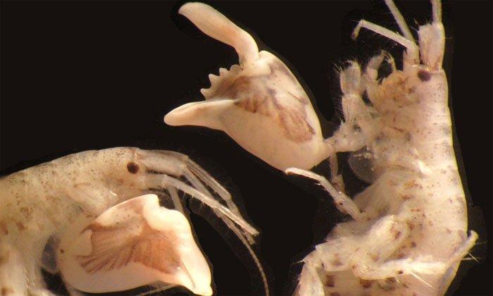 Loài vật kẹp càng nhanh gấp 10.000 lần người chớp mắt