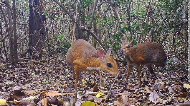 Loài vật nửa hươu nửa chuột lần đầu tái xuất sau 30 năm tại Việt Nam